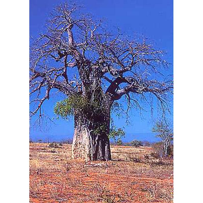 12302 Adansonia digitata - Baobab - Αδανσόνια - Αφρικανικό Μπάομπαμπ