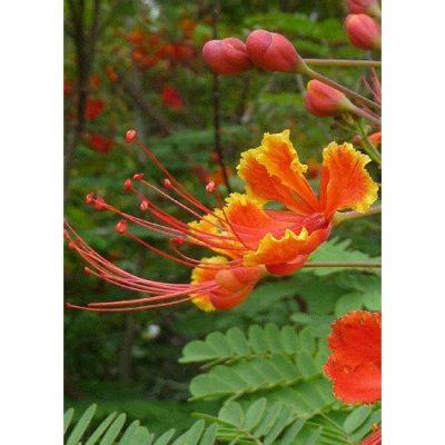 12304 Caesalpinia pulcherrima - Mexican Bird Of Paradise