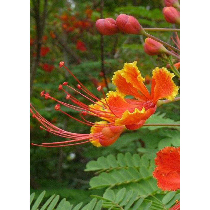 12304 Caesalpinia pulcherrima - Καισαλπίνια - Λουλούδι Παγώνι