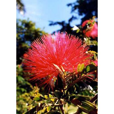 12305 Calliandra haematocephala - Pink Powder Puff