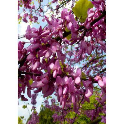 12308 Cercis siliquastrum - Κουτσουπιά - Το δέντρο του Ιούδα