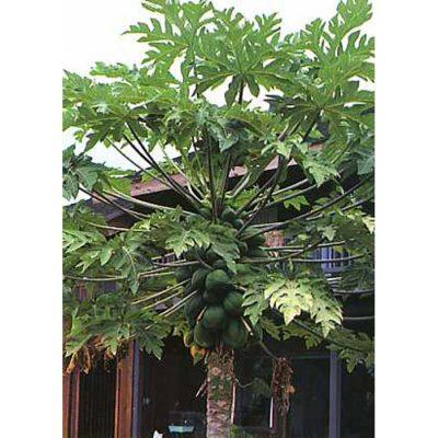 12327 Carica papaya  - Papaya