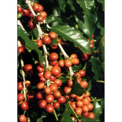 12330 Coffea arabica nana  - Dwarf Coffee