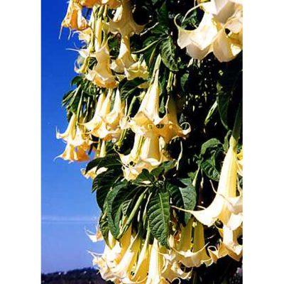 12333 Brugmansia suaveolens - Angel's Trumpet – White