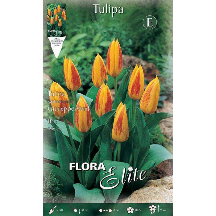 220500 Tulipa – Τουλίπα Giuseppe Verdi