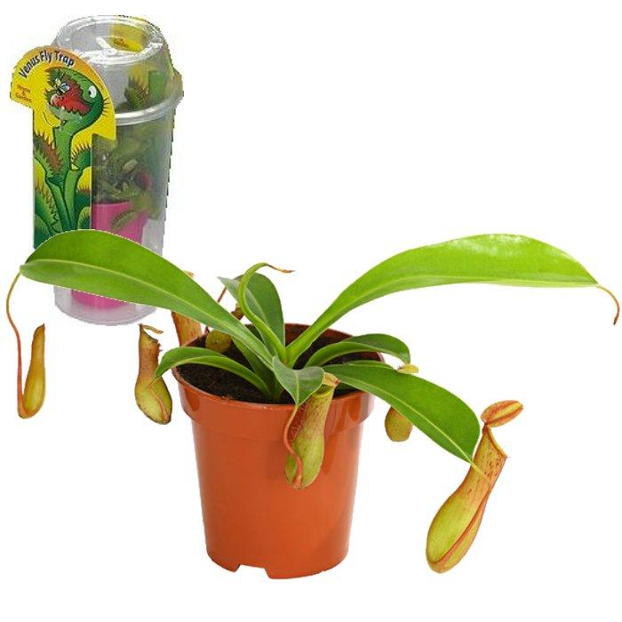 Σαρκοφάγα φυτά σε συσκευασία (γυάλα) – CAR10 Nepenthes alata