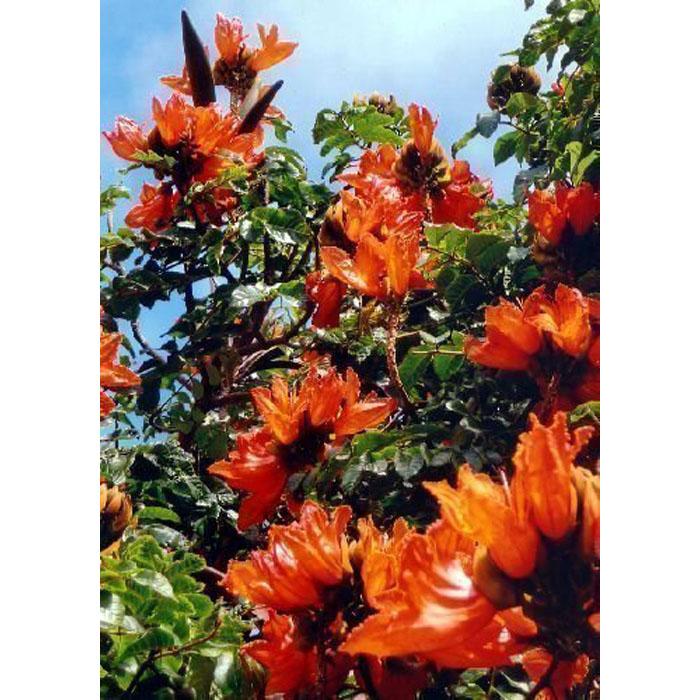 Tree of Tulip Spathodea Campanulata 100 Seeds Fresh