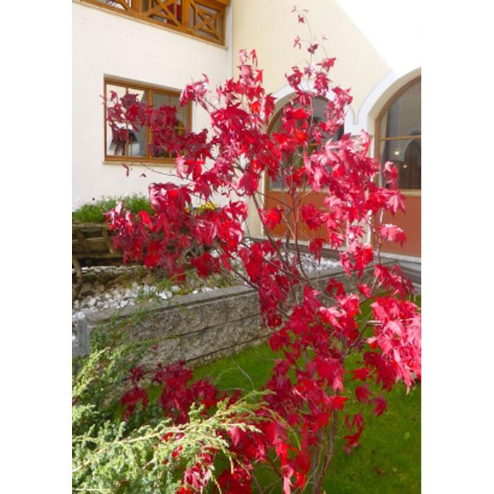 12952 Acer Palmatum Atropurpureum Japanese Maple Valentine E Shop