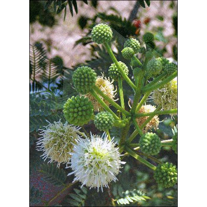 12989 Acacia Karroo Sweet Thorn