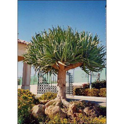 12335 Dracaena draco - Dragon Tree