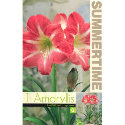 9252 Amaryllis Exposure