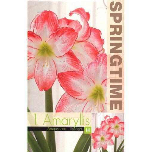 9348 Amaryllis Spotlight