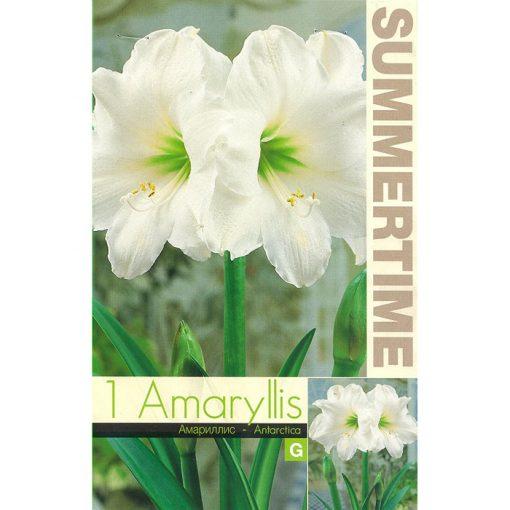 9403 Amaryllis Antarctica