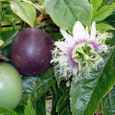 Passiflora, Passion Fruit Seeds