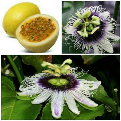 ΜΤ 16702 Passiflora Yellow Maracuja - Πασσιφλόρα, Φρούτο του πάθους (Passiflora edulis flavicarpa)