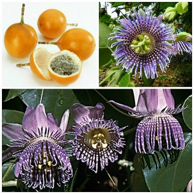 ΜΤ 16701 Passiflora Sweet Granadilla (Passiflora Ligularis)