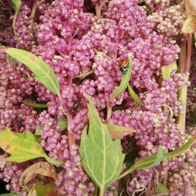 Σπόροι Κινόα – DF 1672 Quinoa Biobio (Chenopodium quinoa)