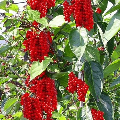ASK 1006 Schisandra chinensis - Σχιζάνδρα