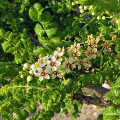ASK 1009 Boswellia sacra - Λιβάνι
