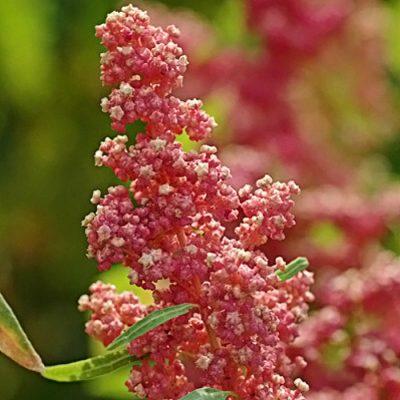Σπόροι Κινόα – DF 1673 Quinoa Cherry Vanilla (Chenopodium quinoa)