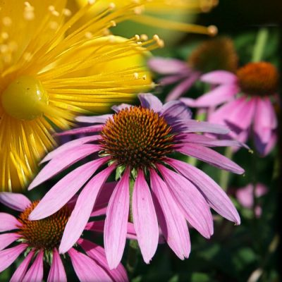 Σπόροι βοτάνων, αρωματικών, θεραπευτικών, μελισσοτροφικών φυτών