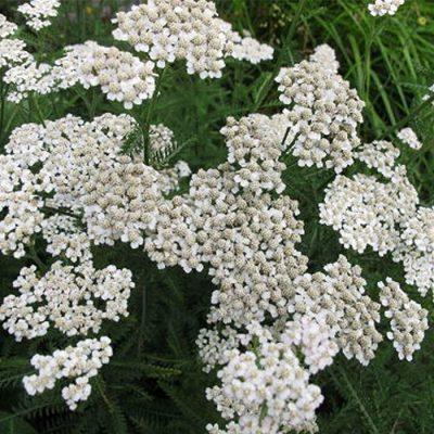 TK 245 Achillea millefolium - Αχιλλέα χιλιόφυλλος