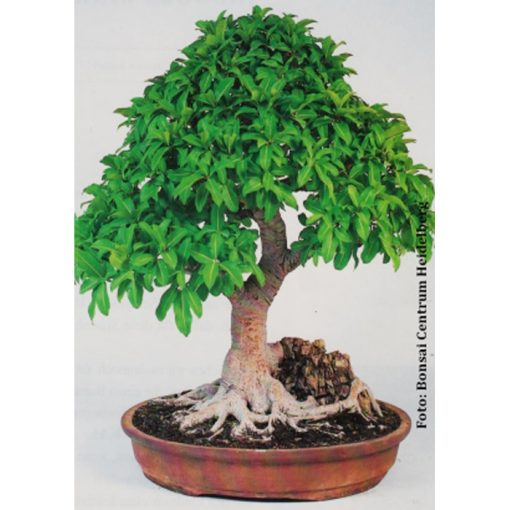 Σπόροι Bonsai – 14983 Ficus microcarpa