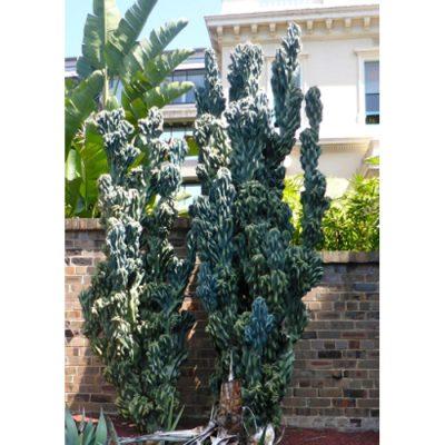 Σπόροι κάκτων και παχυφύτων – 19453 Cereus peruvianus var. monstrosus