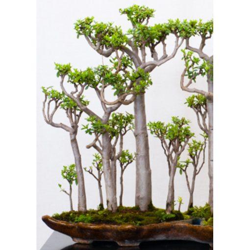 Σπόροι Bonsai – 20104 Adansonia grandidieri