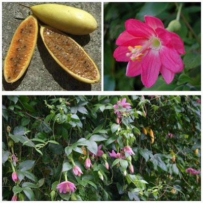 ΜΤ 16703 Passiflora Curuba - Πασσιφλόρα, Φρούτο του πάθους (Passiflora mollissima/ tarminiana)