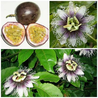 ΜΤ 16704 Passiflora Purple Giant (Passiflora edulis)