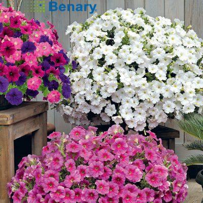 Σπόροι λουλουδιών BENARY
