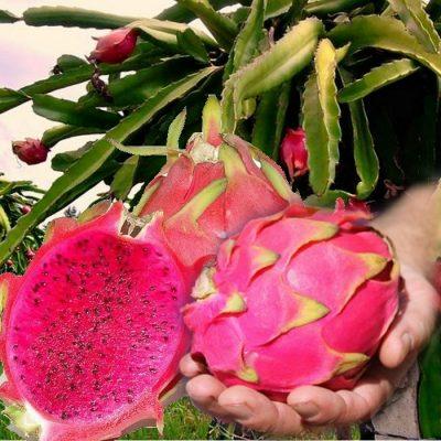 EF 12301763 Pitaya, Pitahaya, Dragonfruit red – Το φρούτο του δράκου κόκκινο κοκκινόσαρκο (Hylocereus polyrhizus)