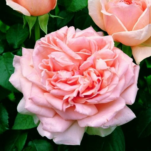 Bare-rooted rose 01020 – Antico Amore