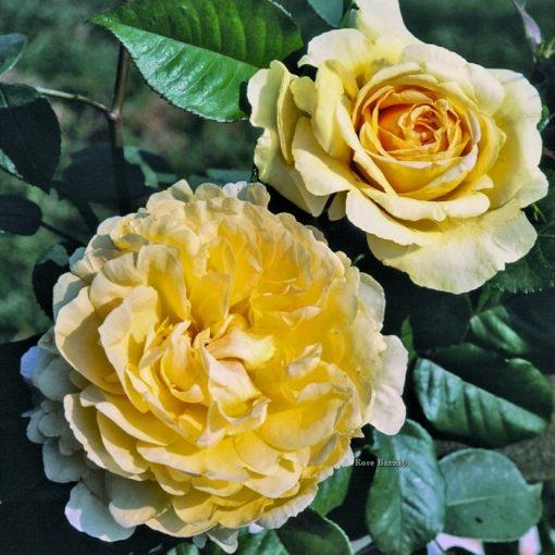 Τριανταφυλλιά σε σακούλα 01040 – Bella Di Todi