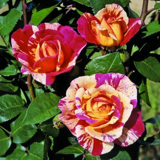 Τριανταφυλλιά σε σακούλα 01247 – Rosita Missoni