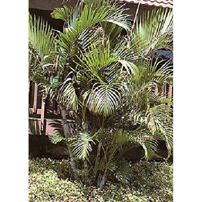 12385 Chrysalidocarpus lutescens syn. Areca lutescens