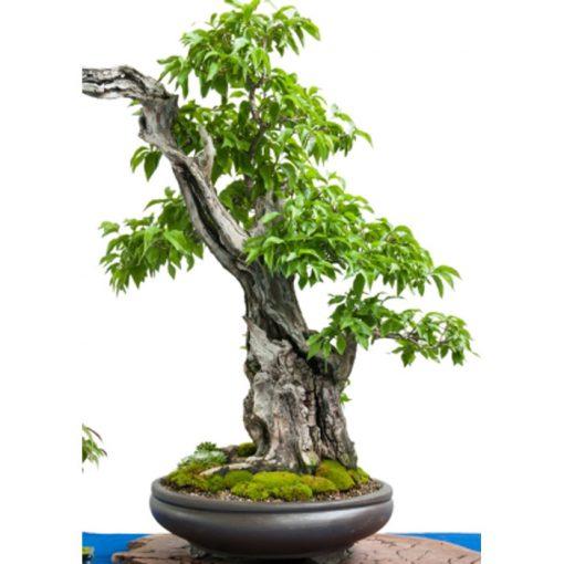 Σπόροι Bonsai – 20123 Cornus officinalis