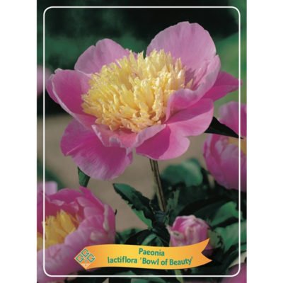 Herbaceous Peony - 1346188 'Bowl of Beauty