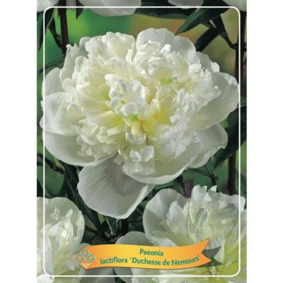 Herbaceous Peony - 1346191 Duchesse de Nemours