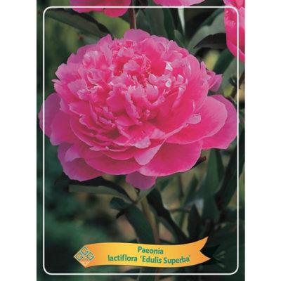 Herbaceous Peony - 1346192 Edulis Superba