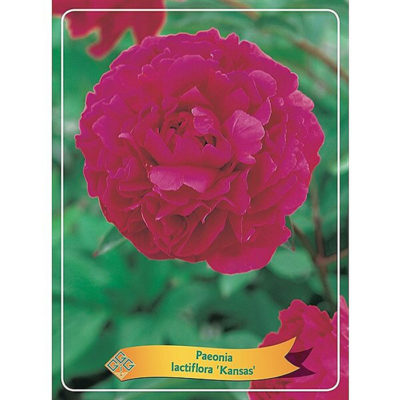 Herbaceous Peony - 1346194 Kansas