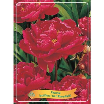 Herbaceous Peony - 1346195 Karl Rosenfield