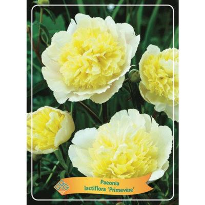 Herbaceous Peony - 1346202 Primevere
