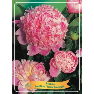 Herbaceous Peony - 1346203 Sarah Bernhardt