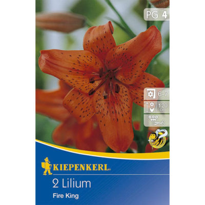 507272 Lilium Fire King