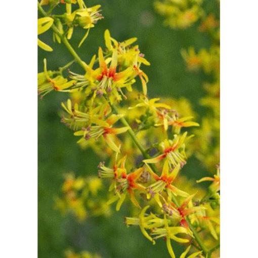 20132 Koelreuteria paniculata - Κοιλρευτερία - Χρυσή βροχή