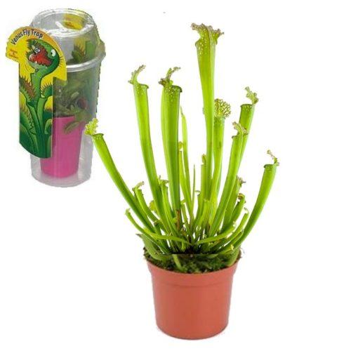 Σαρκοφάγα φυτά σε συσκευασία (γυάλα) – CAR07 Sarracenia farnhamii