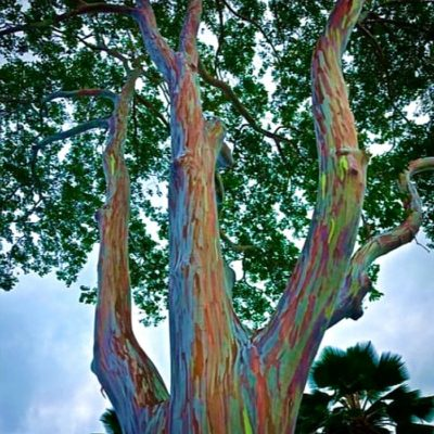 ASK 2007 Eucalyptus deglupta - Ευκάλυπτος ουράνιο τόξο