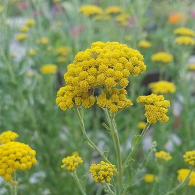 Σπόροι αμάραντων και αποξηραμένων λουλουδιών - DF 311321 Achillea ageratum